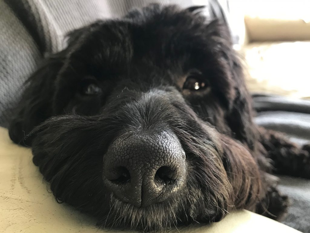 black cockapoo loss of a beloved pet with precious memories